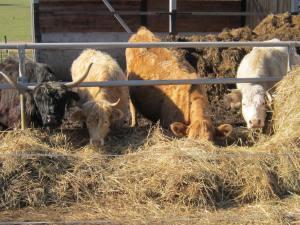 Sumava cows