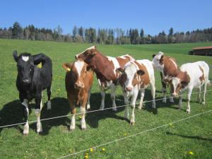 Rueggisberg cows