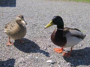 I decided to share some of my siesta bread with these two ducks. I even had a short (monologue) conversation with them. Once the bread was over they quickly made themselves scarce.