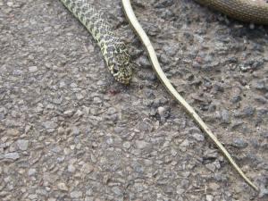French snake