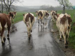 Loire-cows