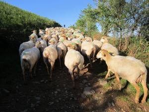 Sheep-on-the-walk-to-Roncesvalles