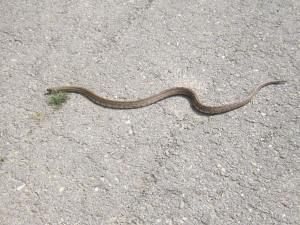 Snake-on-the-path