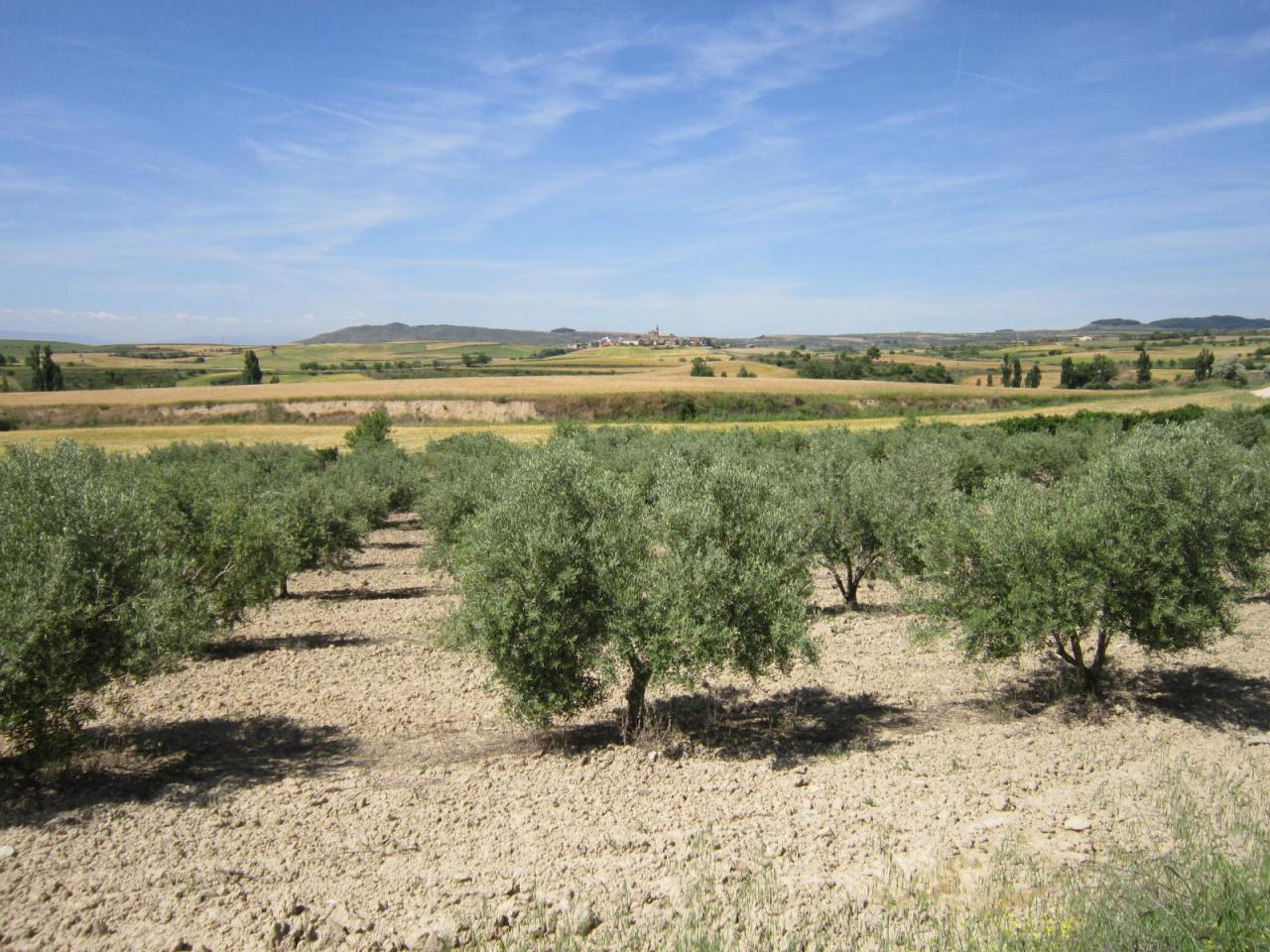 Olive trees Spain
