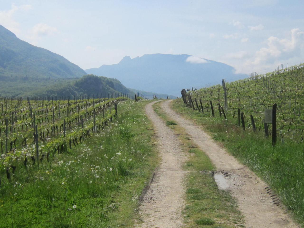 Vineyards on the Via Gebennensis (on the Geneva Way)
